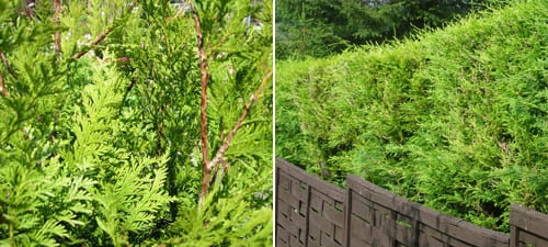 northern white cedar instant hedging